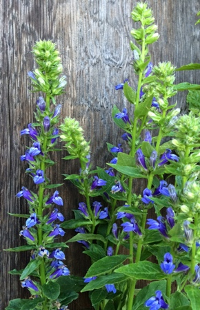 Great Blue Lobelia Ontario Native Plants
